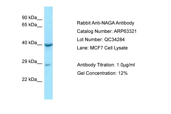 NAGA Antibody -  This image was taken for the unconjugated form of this product. Other forms have not been tested.