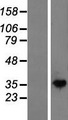 NAGK Protein - Western validation with an anti-DDK antibody * L: Control HEK293 lysate R: Over-expression lysate