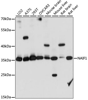 NAIF1 Antibody - Western blot analysis of extracts of various cell lines, using NAIF1 antibody at 1:1000 dilution. The secondary antibody used was an HRP Goat Anti-Rabbit IgG (H+L) at 1:10000 dilution. Lysates were loaded 25ug per lane and 3% nonfat dry milk in TBST was used for blocking. An ECL Kit was used for detection and the exposure time was 10S.