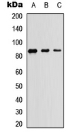 NAK / TBK1 Antibody - Western blot analysis of TBK1 expression in HEK293T (A); Raw264.7 (B); PC12 (C) whole cell lysates.