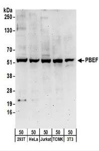 Detection of Human and Mouse PBEF by Western Blot. Samples: Whole cell lysate (50 ug) from 293T, HeLa, Jurkat, mouse TCMK-1, and mouse NIH3T3 cells. Antibodies: Affinity purified rabbit anti-PBEF antibody used for WB at 0.1 ug/ml. Detection: Chemiluminescence with an exposure time of 3 minutes.