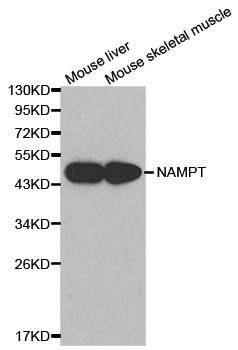 Western blot analysis of extracts of various cell lines, using NAMPT antibody.