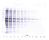Anti-Human Visfatin Western Blot Reduced