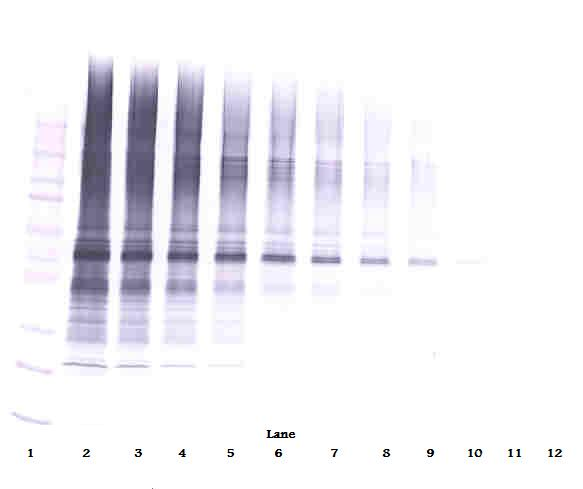Anti-Human Visfatin Western Blot Unreduced