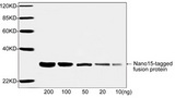 Western blot analysis of Nano15-tagged fusion proteins using Nano-tag Antibody, pAb, Rabbit The signal was developed with IRDye™ 800 Conjugated Goat Anti-Rabbit IgG. Predicted Size: 30 KD Observed Size: 30 KD