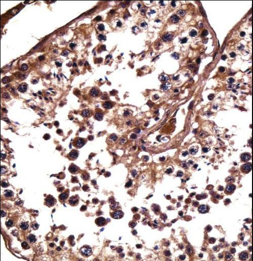 NANOS1 / NOS1 Antibody - NANOS1 Antibody immunohistochemistry of formalin-fixed and paraffin-embedded human testis tissue followed by peroxidase-conjugated secondary antibody and DAB staining.