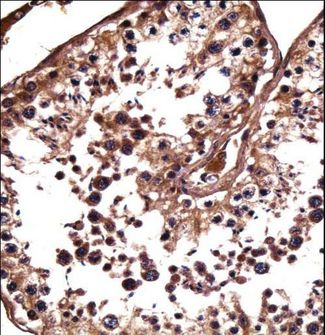 NANOS1 Antibody immunohistochemistry of formalin-fixed and paraffin-embedded human testis tissue followed by peroxidase-conjugated secondary antibody and DAB staining.