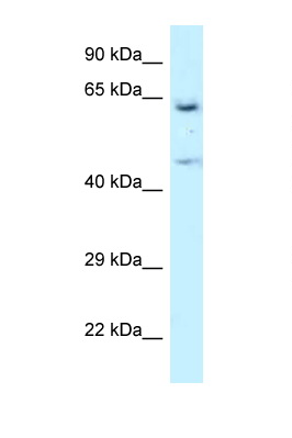 NARS antibody LS-C145562 Western blot of U937 Cell lysate. Antibody concentration 1 ug/ml.  This image was taken for the unconjugated form of this product. Other forms have not been tested.