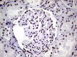 IHC of paraffin-embedded Human Kidney tissue using anti-NBN mouse monoclonal antibody.