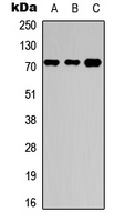 NBPF4 + NBPF6 Antibody - Western blot analysis of NBPF4/6 expression in HEK293T (A); Raw264.7 (B); H9C2 (C) whole cell lysates.
