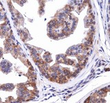 Immunohistochemistry: NBR1 Antibody - Staining of NBRI in mouse prostate.  This image was taken for the unconjugated form of this product. Other forms have not been tested.