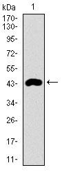 Western blot using CLGN monoclonal antibody against human CLGN recombinant protein. (Expected MW is 43.5 kDa)