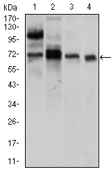 Western blot using CLGN mouse monoclonal antibody against LNCaP (1), HepG2 (2), PC-3 (3), and Raji (4) cell lysate.