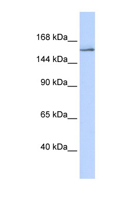 NCOA3 antibody LS-B3493 Western blot of 293T cell lysate.  This image was taken for the unconjugated form of this product. Other forms have not been tested.
