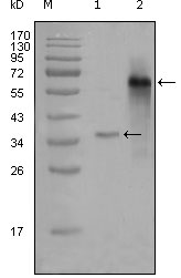Western blot using NCOA3 mouse monoclonal antibody against truncated Trx-NCOA3 recombinant protein (1) and truncated NCOA3 (aa1-200)-hIgGFc transfected CHOK1 cell lysate (2).