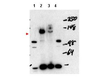 NCOA3 / SRC-3 / AIB1 Antibody - Western blot using the affinity purified anti-NCOA3 antibody shows detection of NCOA3 in mouse liver nuclear extract (lane 1), transient transfected 293 cell lysate (lane 2), HeLa whole cell lysate (lane 3) and mouse thyroid cell nuclear extract (lane 4). The band at ~148 kDa, indicated by the arrowhead, corresponds to NCOA3. Mouse NCOA3 (lanes 1 and 4) appear as ~105 kDa bands. Pre-incubation of antibody with the immunizing peptide blocks detection of specific band staining (not shown).
