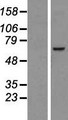 NDC1 / TMEM48 Protein - Western validation with an anti-DDK antibody * L: Control HEK293 lysate R: Over-expression lysate