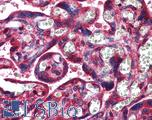 Anti-NDRG1 antibody IHC of human placenta. Immunohistochemistry of formalin-fixed, paraffin-embedded tissue after heat-induced antigen retrieval. Antibody concentration 0.7 ug/ml.