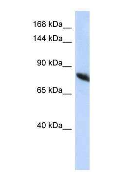 Western blot of Human HepG2. NDST2 antibody dilution 1.0 ug/ml.  This image was taken for the unconjugated form of this product. Other forms have not been tested.