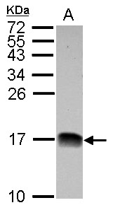 Sample (30 ug of whole cell lysate) A: HepG2 15% SDS PAGE NDUFB4 antibody diluted at 1:1000