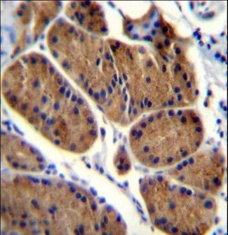 NDUFS8 Antibody - NDUFS8 Antibody immunohistochemistry of formalin-fixed and paraffin-embedded human stomach tissue followed by peroxidase-conjugated secondary antibody and DAB staining.