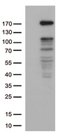 NEDD4 Antibody - HEK293T cells were transfected with the pCMV6-ENTRY control. (Left lane) or pCMV6-ENTRY NEDD4. (Right lane) cDNA for 48 hrs and lysed. Equivalent amounts of cell lysates. (5 ug per lane) were separated by SDS-PAGE and immunoblotted with anti-NEDD4. (1:500)