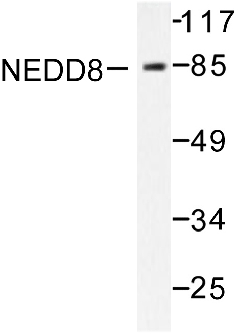 Western blot of NEDD8 (D21) pAb in extracts from Jurkat cells.