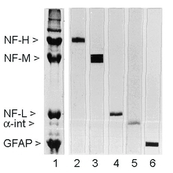 NEFM / NF-M Antibody - Rat spinal cord homogenate showing the major intermediate filament proteins of the nervous system (lane 1). The remaining lanes show blots of this material stained with various antibodies including NEFM / NF-M Antibody Neurofilament medium chain Antibody (NF-M) (lane 3).