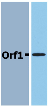 Neisseria meningitidis Orf1 Antibody - Western Blotting analysis (reducing conditions) of recombinant protein Orf1 in cell lysate of Orf1-transfected E. coli using polyclonal anti-Orf1 antibody.