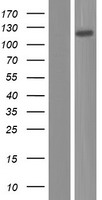 NEPH1 / KIRREL Protein - Western validation with an anti-DDK antibody * L: Control HEK293 lysate R: Over-expression lysate