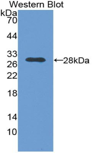 Nerve Growth Factor Antibody - Western blot of recombinant NGF.  This image was taken for the unconjugated form of this product. Other forms have not been tested.