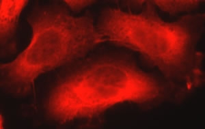 NES / Nestin Antibody - Visualization of nestin in PC-3 cells. Courtesy of Dolnick Lab, Roswell Park Cancer Institute.  This image was taken for the unconjugated form of this product. Other forms have not been tested.