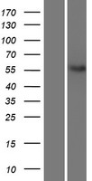 NETO2 Protein - Western validation with an anti-DDK antibody * L: Control HEK293 lysate R: Over-expression lysate