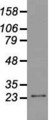 Western blot of 35 ug of cell extracts from human colon adenocarcinoma (HT29) cells using anti-NEUROG1 antibody.