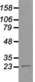 Western blot of 35 ug of cell extracts from human Kidney (HEK293T) cells using anti-NEUROG1 antibody.