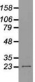 Western blot of 35 ug of cell extracts from canine Kidney (MDCK) cells using anti-NEUROG1 antibody.