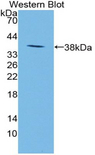 Western blot of Neuropeptide S / NPS antibody.