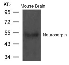 Western blot of extract from Mouse brain tissue using Neuroserpin antibody