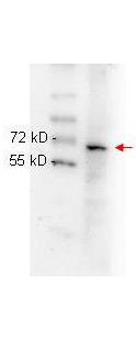NF-kappaB (NFKB) Antibody - Anti NFKB p65 (Rel A) monoclonal antibody 200-301-065 was used to detect ~65 kD band (red arrow) in HeLa whole cell lysate. Lysate was run on 4-20% gradient gel transferred under standard conditions and blocked in 1% BSA-TTBS 30 min RT. Blot was probed with monoclonal anti p65 1:1000 in 1% BSA-TBS-T o/n 4°C and detected with HRP conjugated Rb-anti Mouse antibody 1:40,000 in MB-070 30 min RT.