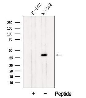 NF45 / ILF2 Antibody - Western blot analysis of extracts of K562 cells using NF45 antibody. The lane on the left was treated with blocking peptide.