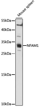 NFAM1 Antibody - Western blot analysis of extracts of Mouse spleen, using NFAM1 antibody at 1:1000 dilution. The secondary antibody used was an HRP Goat Anti-Rabbit IgG (H+L) at 1:10000 dilution. Lysates were loaded 25ug per lane and 3% nonfat dry milk in TBST was used for blocking. An ECL Kit was used for detection and the exposure time was 90s.