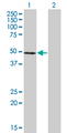 Western Blot analysis of NFE2 expression in transfected 293T cell line by NFE2 monoclonal antibody (M01), clone 2C6.Lane 1: NFE2 transfected lysate(41.5 KDa).Lane 2: Non-transfected lysate.
