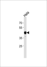 NFIC Antibody western blot of HeLa cell line lysates (35 ug/lane). The NFIC antibody detected the NFIC protein (arrow).