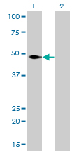 NFI / NFIC Antibody - Western blot of NFIC expression in transfected 293T cell line by NFIC monoclonal antibody (M01), clone 1C12-2A2.