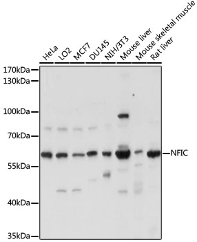 NFI / NFIC Antibody - Western blot analysis of extracts of various cell lines, using NFIC antibody at 1:1000 dilution. The secondary antibody used was an HRP Goat Anti-Rabbit IgG (H+L) at 1:10000 dilution. Lysates were loaded 25ug per lane and 3% nonfat dry milk in TBST was used for blocking. An ECL Kit was used for detection and the exposure time was 5s.