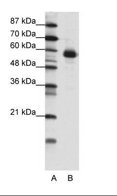 A: Marker, B: Transfected 293T Cell Lysate.  This image was taken for the unconjugated form of this product. Other forms have not been tested.