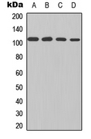 NFKB1 / NF-Kappa-B Antibody - Western blot analysis of NF-kappaB p105 expression in HEK293T (A); HeLa (B); mouse brain (C); rat brain (D) whole cell lysates.