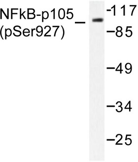 NFKB1 / NF-Kappa-B Antibody - Western blot of p-NF kappa B-p105 (S927) pAb in extracts from HeLa cells treated with Insulin.