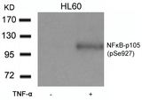 Western blot of extracts from HL60 cells untreated or treated with TNF-a using NFkB-p105 (Phospho-Ser927) antibody.