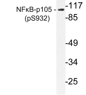 NFKB1 / NF-Kappa-B Antibody - Western blot of p-NFB-p105/p50 (S932) pAb in extracts from HeLa TNF cells.